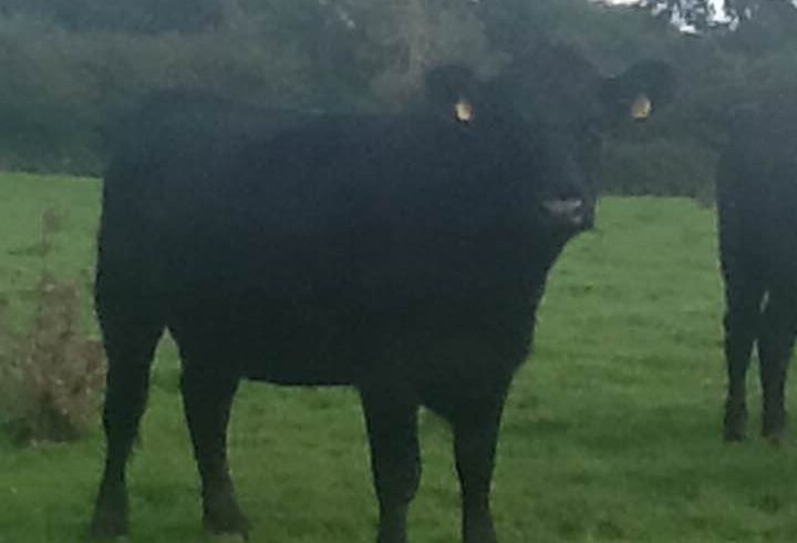 Aberdeen Angus Cattle for Sale