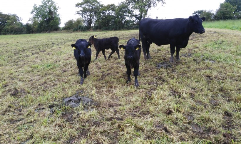 Heifers with Calves at Foot for Sale
