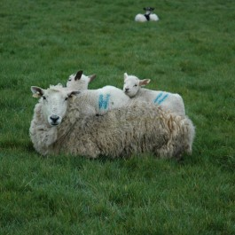 Store Lambs for Sale