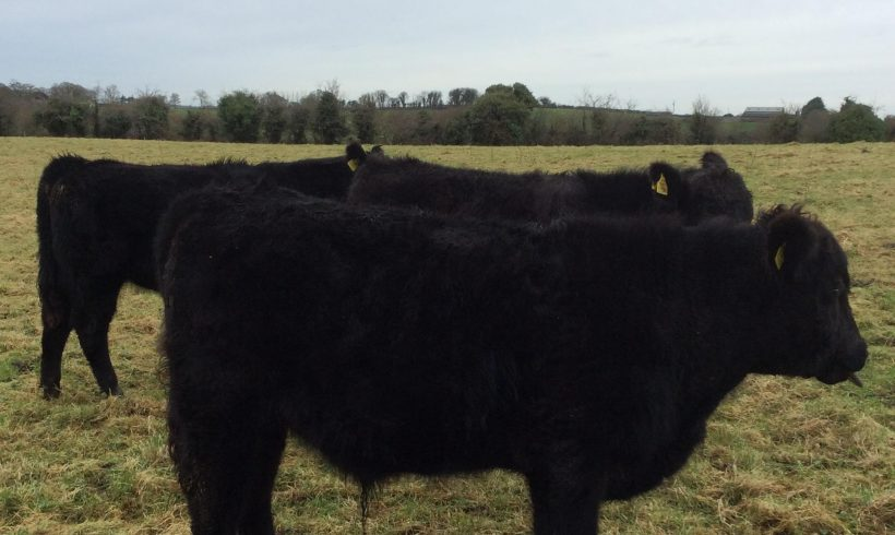 Aberdeen Angus Bulls for Sale