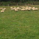 Organic Lambs for Sale