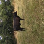 Purebred AA bull for sale