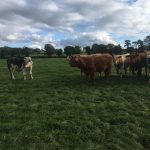 Organic Store Cattle for Sale