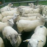 Ewe Hoggets & store lambs for Sale