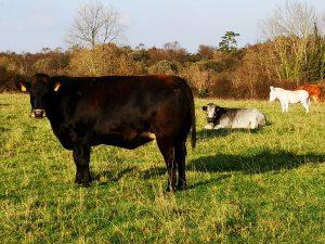 October Cow
