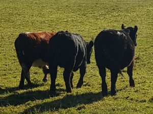 Photo store cattle