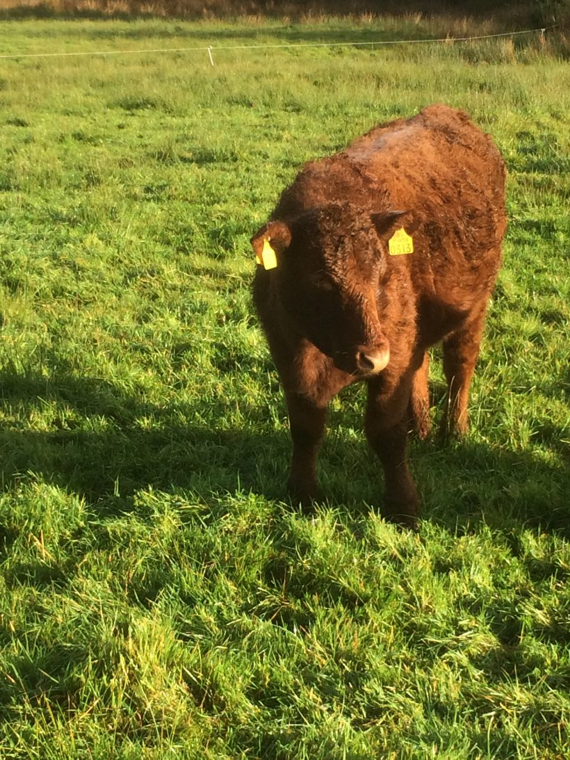 Shorthorn Heifer For Sale