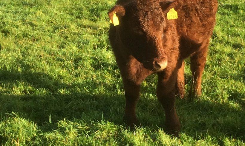 Shorthorn Heifer For Sale