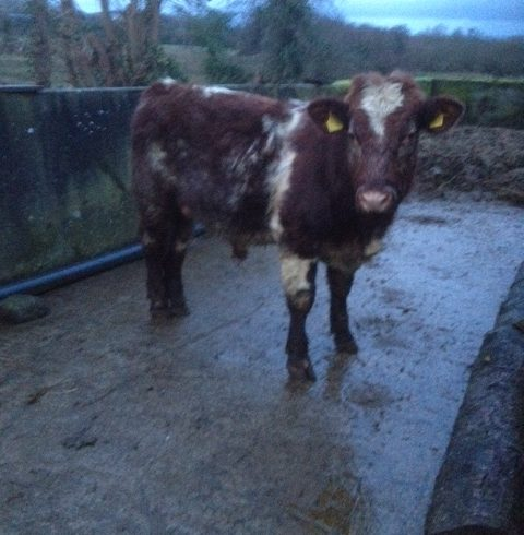 Shorthorn Bull For Sale
