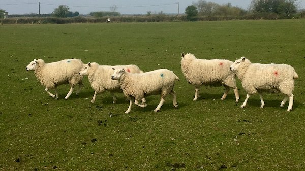 Organic In Lamb Ewes for Sale