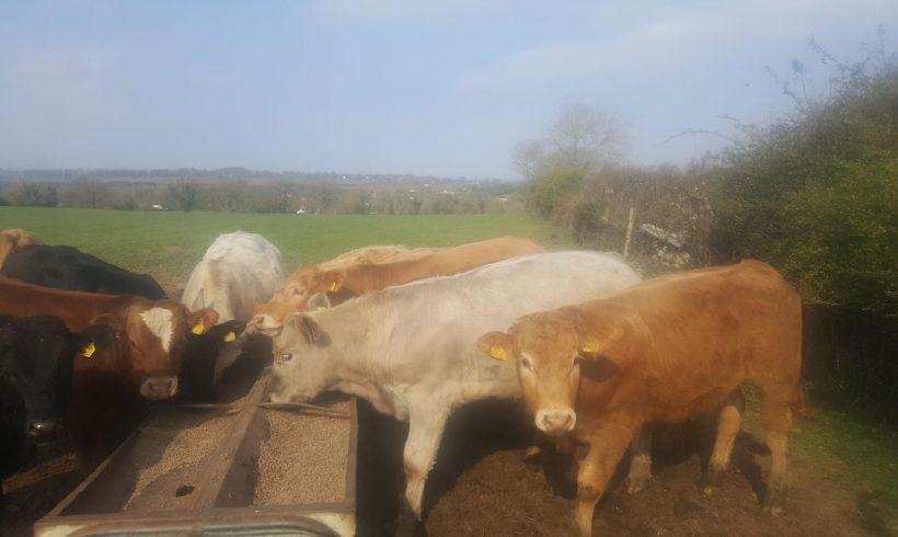 CHX Bull waeanlings for Sale